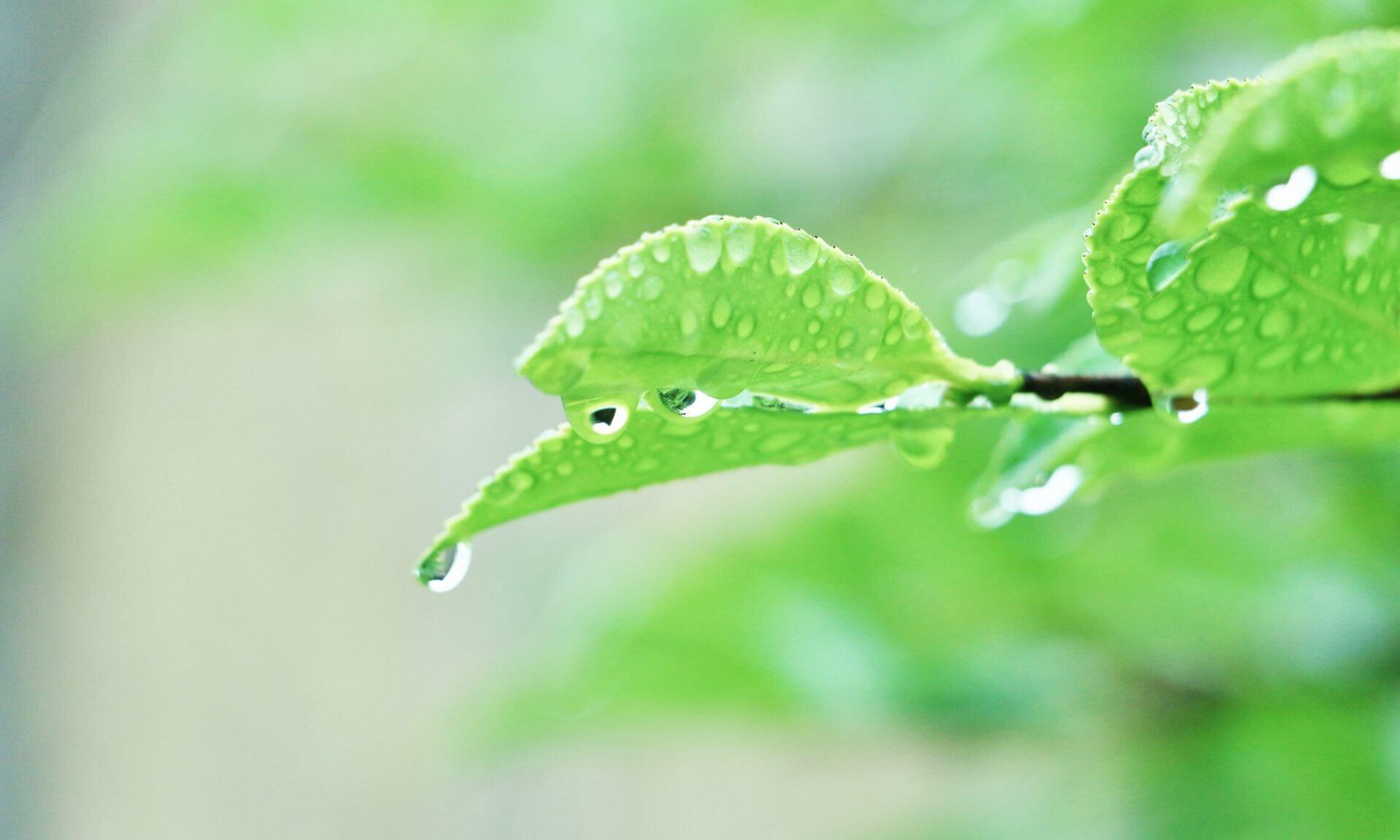 雨粒ついた木の葉