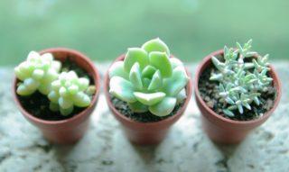 可愛くて癒される!育てやすい多肉植物を室内に飾ってみよう